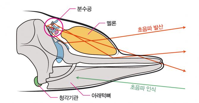 돌고래의 머리 두개골과 초음파로 소통하는 원리 - (주)동아사이언스 제공