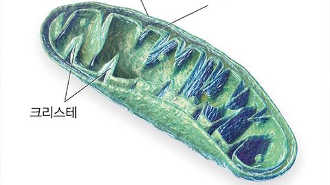 꼬불꼬불한 미토콘드리아 내막의 비결