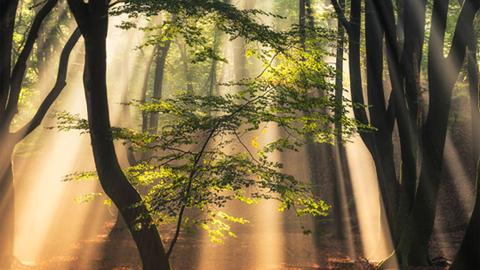 천사의 빛이 내리는 네덜란드 숲