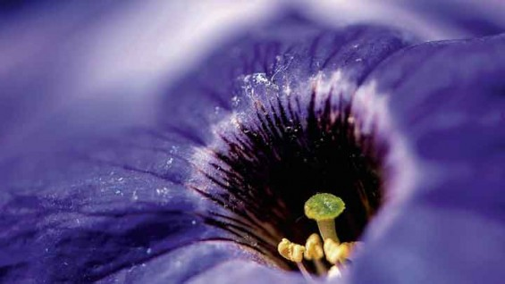 여름철 꽃 페튜니아 향기의 비밀