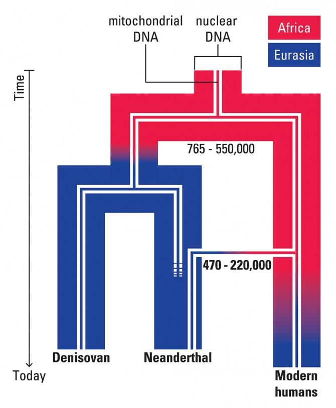 공통조상에서 현생인류 크로마뇽인과 네안데르탈인은 핵DNA 분석을 통해 약 76만5000년 전에서 55만년 전에 분리된것이 확인 됐지만 미토콘드리아 분석결과 47만 년 전에서 22만 년전에 분리된 것이 확인됐다. - MAX PLANCK INSTITUTE 제공