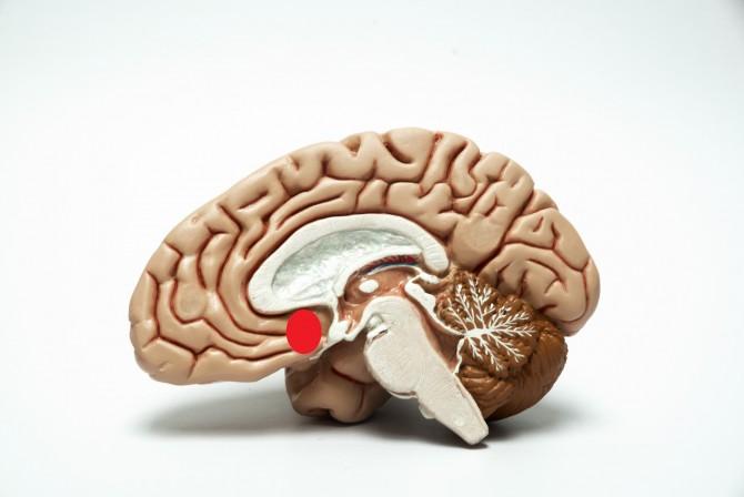 빨간색 영역이 뇌 속 NAC의 위치다 - GIB 제공