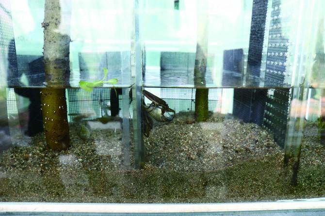 물고기를 먹기 위해 물장군이 앞다리 갈고리모양 발톱으로 잡고 있는 모습. - 김정 기자 제공