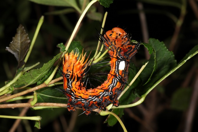 주황색 몸에 검은 반점과 돌기가 특징인 꽃술재주나방 애벌레예요. 8~10월에 신나무를 관찰하면 사진처럼 몸을 동그랗게 말아 반원을 만들고, 머리와 꼬리 부분을 아래로 늘어뜨린 채로 나뭇가지에 매달려 있는 모습을 볼 수 있답니다. - 홀로세생태보존연구소 제공