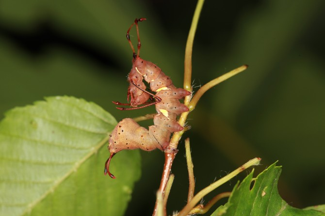 윗몸 일으키기라도 하는 걸까요? 뒷검은재주나방 애벌레는 개미를 닮았어요. 특별하게 긴 가운뎃다리가 개미 다리처럼 보이지요. 이 애벌레는 자라서 털이 수북한 뒷검은재주나방이 된답니다. - 홀로세생태보존연구소 제공