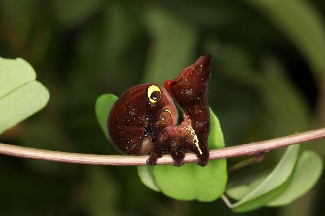 여우가 나타난 걸까요? 사실은 두꺼운 몸에 눈 모양의 무늬가 익살스러운 으름밤나방 애벌레예요. 이 눈 모양의 무늬로 천적을 위협한답니다. - 홀로세생태보존연구소 제공