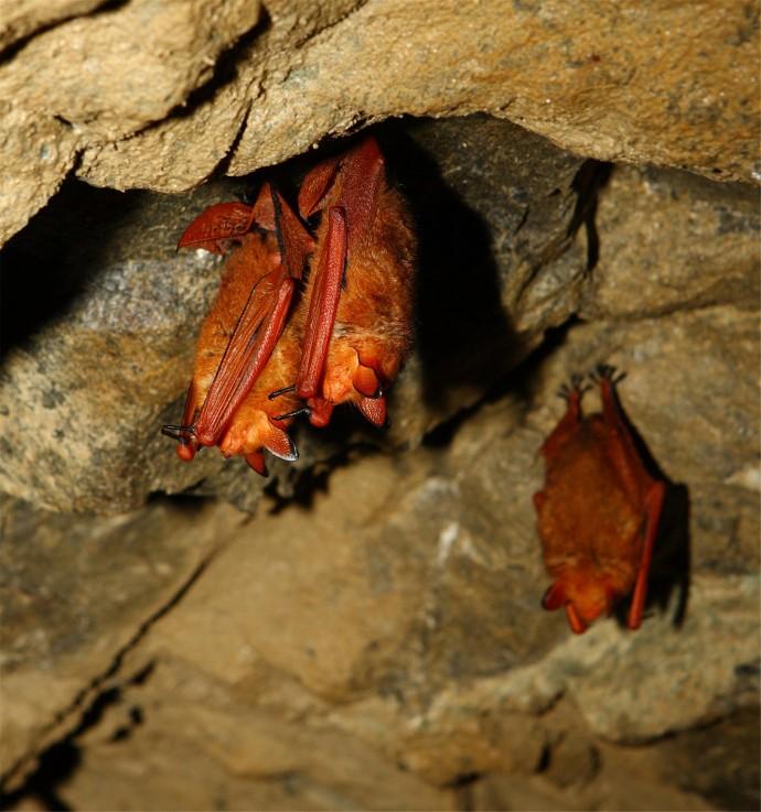 겨울잠을 자고 있는 붉은박쥐. 박종화 울산과학기술원 생명과학부 교수팀은 붉은박쥐의 게놈 전체를 해독해 황금박쥐라는 별명을 만든 붉은털 유전자와 비소저항유전자를 찾았다. - 문화재청 제공