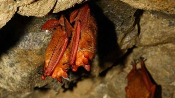 '황금박쥐'가 멸종위기종이 된 이유