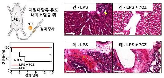 패혈증에 걸리도록 만든 실험용 쥐를 두 그룹으로 나눠 한 그룹에는 세리아-지르코니아 나노입자를 정맥 투여했다. 그 결과, 합성 나노입자를 투여 받은 쥐는 2주간 100% 생존했다. 이는 합성 나노입자를 투여 받지 않은 쥐에 대비해 2.5배 높은 생존율이다(왼쪽). 패혈증 쥐의 간과 폐의 조직을 촬영한 사진(오른쪽).