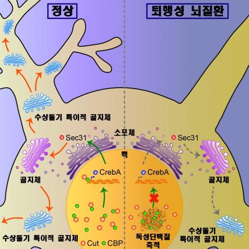 대구경북과학기술원(DGIST) 이성배 뇌인지과학전공 교수팀과 황대희 기초과학연구원(IBS) 식물노화수명연구단 부연구단장(뉴바이올로지전공 교수) 연구팀은 뉴런의 소기관인 수상돌기 특이적 골지체가 폴리글루타민 단백질에 의해 발병하는 퇴행성 뇌질환의 초기 신경병증에서 핵심적인 역할을 한다는 사실과 세부 기전을 최초로 규명했다. - DGIST 제공