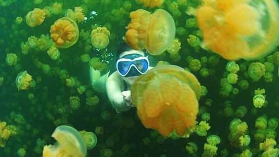 수백 마리의 해파리, 팔라우 '해파리 호수'