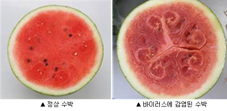 정상 수박(왼쪽), 바이러스에 감염된 수박(오른쪽) - 농촌진흥청 제공