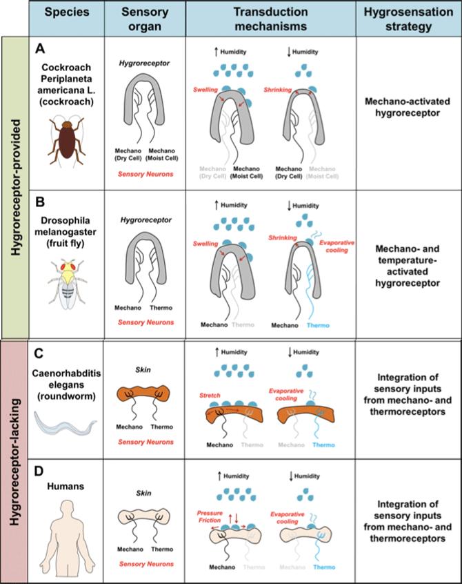 습도감각은 다른 감각에 비해 아직 밝혀진 게 적다. 곤충의 경우 특화된 습도수용체가 알려졌지만 사람을 포함한 많은 동물에서는 이런 습도수용체가 없는 것으로 보인다. 대신 기계수용체와 온도(열)수용체가 습도에 따른 피부 팽창 정도나 수분 증발에 따른 냉각 속도 등의 정보를 보내고 뇌가 이를 해석해 습도를 추론하는 것으로 보인다. 세 번째 칸의 왼쪽이 습도가 높을 때이고 오른쪽이 습도가 낮을 때이다. 2015년 논문에 실린 자료로 초파리(B)의 경우 2016년과 2017년 두 가지 습도수용체가 잇달아 발견되면서 수정이 필요하다. 즉 기계감각뉴런(mechano)을 바퀴벌레(A)처럼 mechano(dry cell)과 mechano(moist cell) 두 가지로 표시해야 한다. - 신경생리학저널 제공