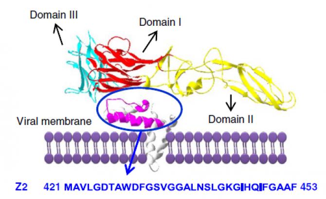 지카바이러스(ZIKV)를 이루는 단백질 영역 중 숙주의 막단백질과 결합해 침투할 수 있도록 돕는 단백질 영역(자주색 부분)의 아미노산 서열을 분석해 Z2 물질을 합성했다. - Fudan University 제공