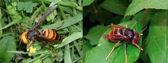 장수말벌(왼쪽)과 등검은말벌 - KENPEI(w), 동아사이언스, 제공