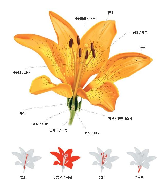 현대의 속씨식물의 구조. 연구팀이 제시한 최초의 꽃보다 더 세분화 됐으며 각 기관이 - 브리태니커 제공