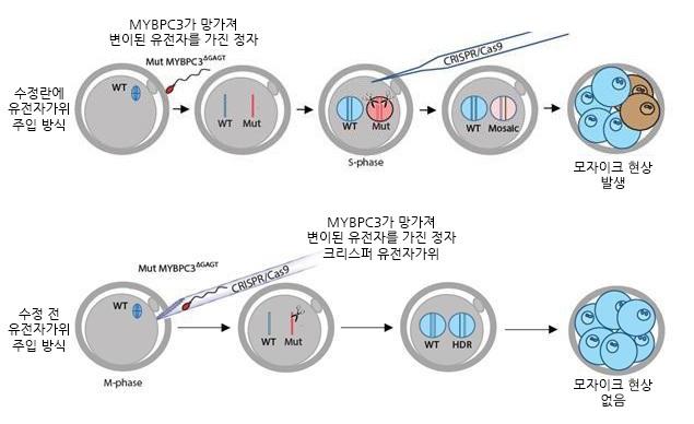 기존 배아 유전자교정 기법(위)과 연구진이 개발한 기법(아래). 연구진은 수정 전에 유전자 교정을 도입해 유전자 교정 분야의 난제였던 '모자이크 현상'을 해결했다. - IBS 제공