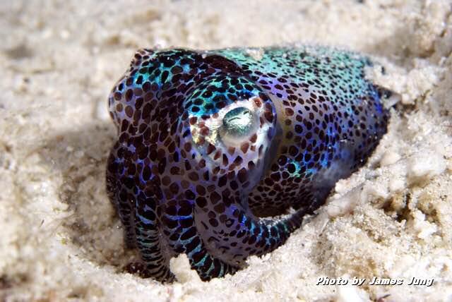 모래 속에 몸을 위장하는 능력을 가진 귀꼴뚜기 - 제임스정 제공