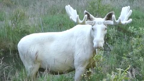 스웨덴, 희귀 하얀 사슴 포착돼