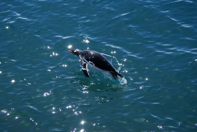 남극 세종기지 인근에 서식하는 젠투펭귄들이 바다 속에서 헤엄치며 먹이를 찾을 때도 울음소리로 의사소통을 한다는 사실이 최근 밝혀졌다. - 극지연구소 제공