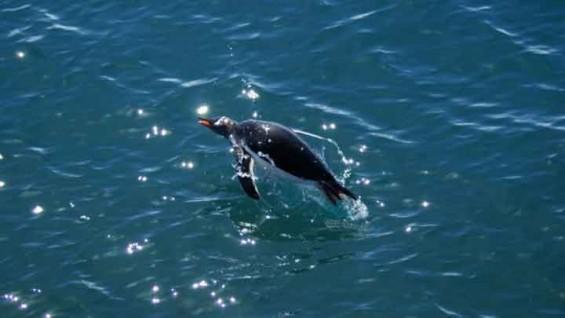 먹이 찾는 남극 펭귄들, 울음소리로 의사소통한다