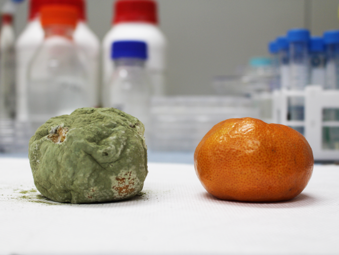 KAIST 연구팀이 개발한 기술로 나노 코팅한 귤(오른쪽)과 코팅하지 않은 귤(왼쪽)을 14일 뒤에 비교한 사진. - KAIST 제공