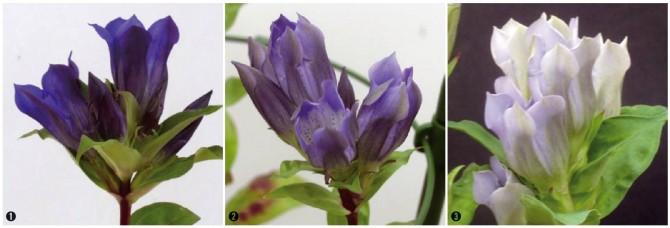 자연 상태의 용담(gentian)(①). 안토시아닌 합성에 관여하는 유전자에 돌연변이를 유발해 F3'5'H 유전자를 제거하면 푸른색이 옅어진다(②, ③). - 니시하라 마사히로 제공