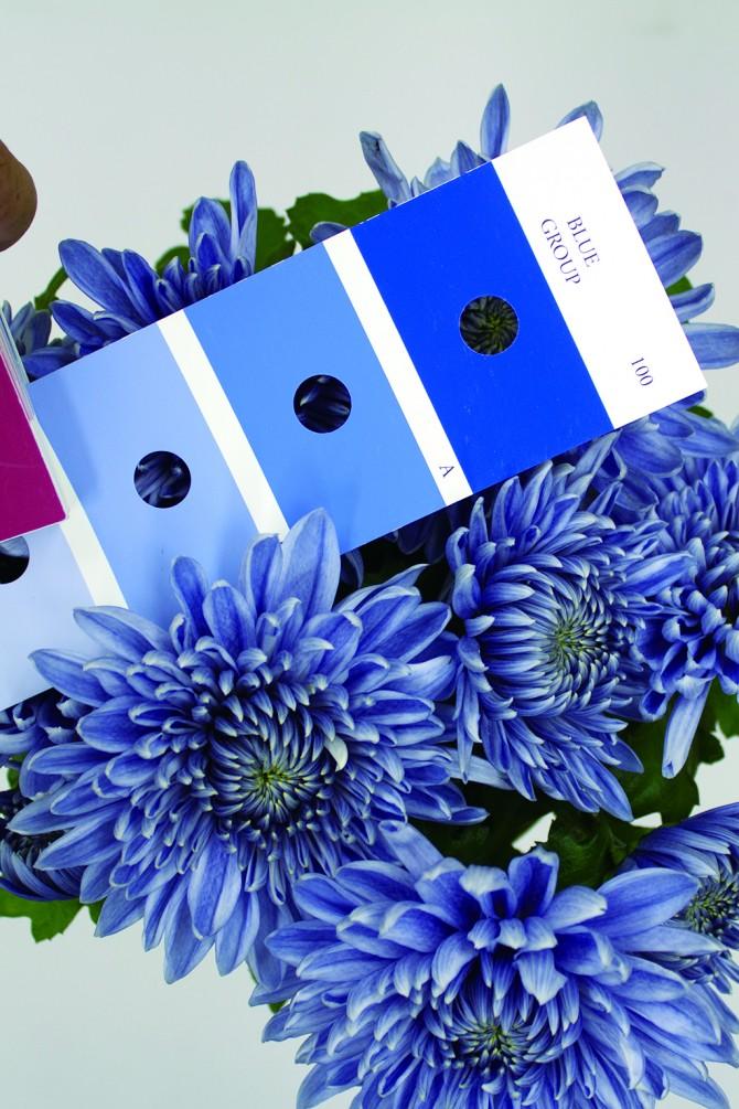 영국 왕립원예협회(Royal Horticultural Society)에서 개발한 색상표에 따르면 이번에 개발된 푸른 국화는 파란색 계열에 속하는 사실을 확인할 수 있다. - 노다 나오노부 / NARO 제공