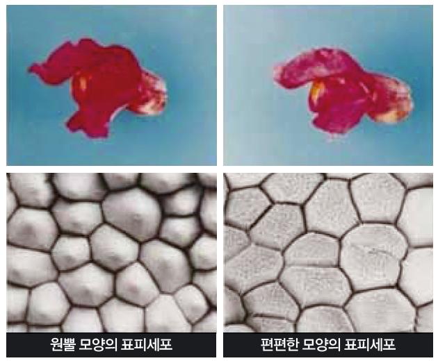원뿔 모양의 표피 세포를 가진 금어초(왼쪽)와 유전자 돌연변이로 편편한 모양의 표피세포를 갖게 된 금어초(오른쪽). 표피세포가 편편한 형태일 경우 꽃잎의 색이 확연하게 옅어졌다. - Cathie martin 제공