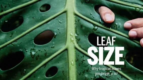 식물의 '잎 크기' 결정하는 요인은?