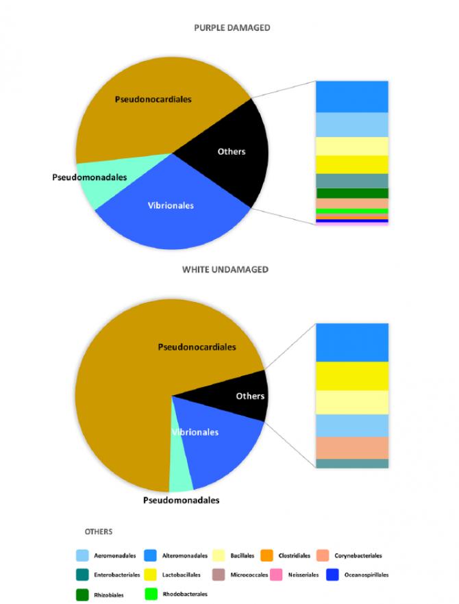 양피지의 보라색 손상부분과 하얀색 부분간의 박테리아 구성비율을 그린 모식도 - Tor Vergata University 제공