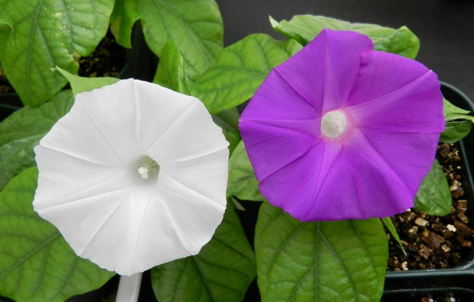 최근 일본 연구자들은 게놈편집기술로 색소(안토시아닌) 생합성 과정에서 중요한 역할을 하는 DFR-B 효소를 망가뜨려 흰 나팔꽃(왼쪽)을 만드는데 성공했다. - 쓰쿠바대 제공