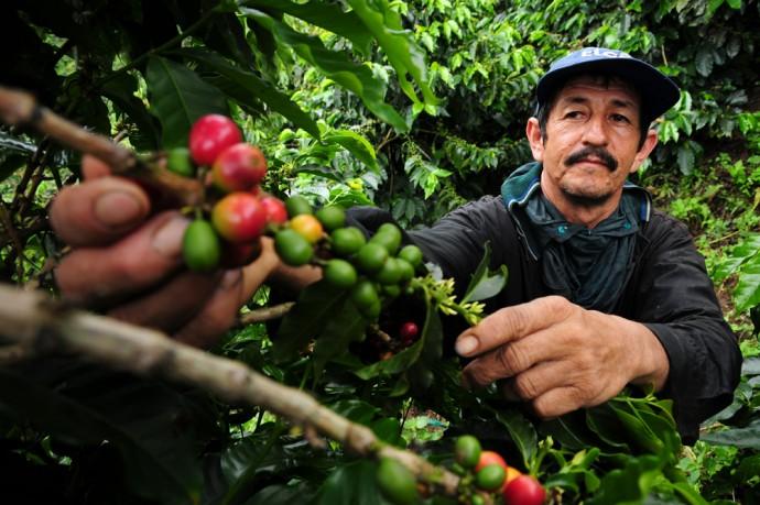 콜롬비아의 한 커피 농장에서 농부가 커피 열매를 수확하고 있다. - 닐 파머(CIAT) 제공