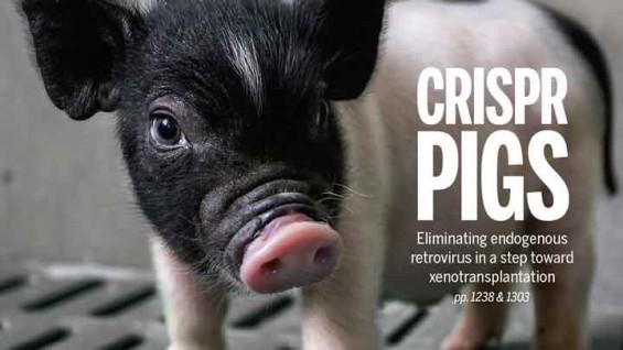 돼지→인간 장기이식, 가능성 높아졌다