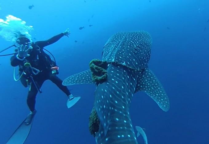 밧줄에 묶인 고래상어가 다이버에게 다가오고 있다. - 히라쿠 제공