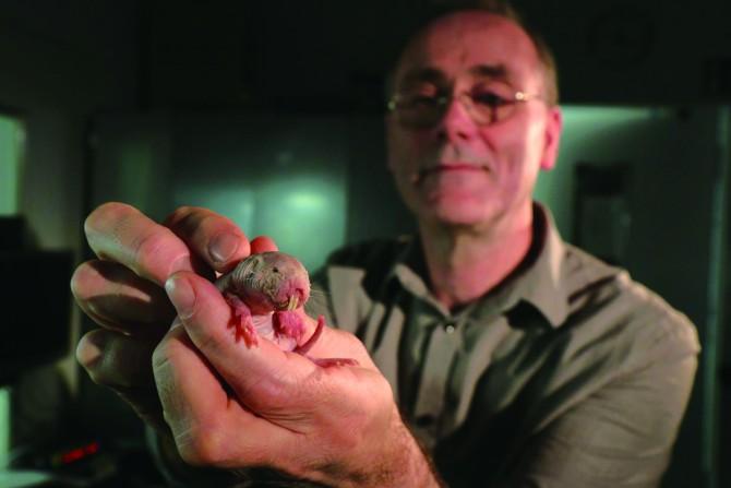 무산소 상태에서 벌거숭이두더지쥐의 생존 능력을 연구한 연구팀의 게리 르윈 교수가 벌거숭이두더지쥐를 들어 보이고 있다. - Roland Gockel, MDC 제공