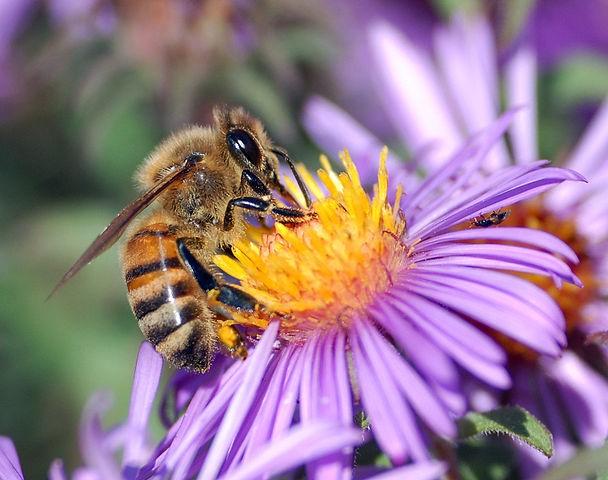 상리공생 관계는 자연에서 아주 흔하게 관찰된다. 꿀벌은 꽃에서 영양소를 얻고, 꽃은 꿀벌을 이용해서 수분한다. - John Severns 제공