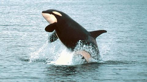 포획된 범고래가 야생 범고래를 부러워하는 이유