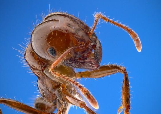 부산 떨게한 붉은불개미…곤충 세계선 전투력 '하수'