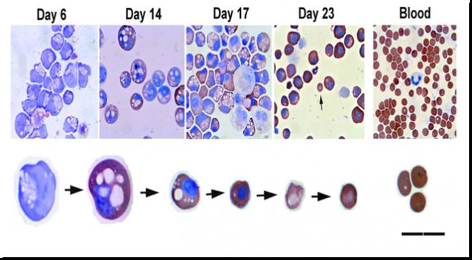 지난 2008년 미국의 과학자들은 배아줄기세포를 적혈구로 분화시키는데 성공했다. 당시 연구를 주도한 로버트 란자 박사는 상용화를 자신했지만 9년이 지난 지금은 아직은 먼 얘기라고 한 발 물러섰다. 배양 비용을 낮추는 게 생각보다 어렵기 때문이다. - Blood 제공