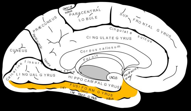 방추형 이랑(Fusiform gyrus). 뇌의 여러 부분이 측두엽의 일부인 방추형 이랑과 연합하여, 얼굴에 대한 정보를 인식한다. 이 부분이 손상되면 타인의 얼굴을 제대로 구분할 수 없게 된다. - Gray 제공