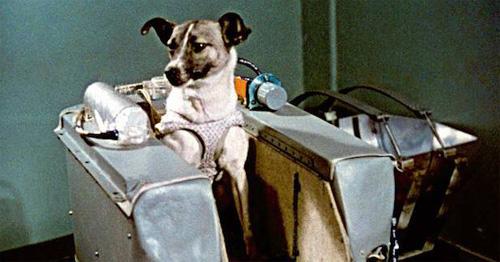 최초로 우주로 나간 동물이라는 기록을 가지고 있는 라이카. 개와 원숭이 위주이던 우주 실험용 동물이 우주 정거장의 등장 등 과학기술의 발전으로 초파리와 물고기, 쥐 등으로 다양해졌다. 이들은 인류의 우주 개척에 큰 기여를 하고 있다. - 위키미디어 제공