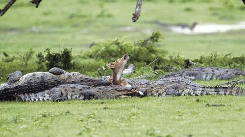 악어들에게 잡힌 사슴 한 마리