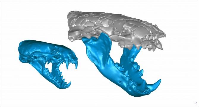 현존 수달(왼쪽)과 고대 수달(오른쪽)의 턱뼈 비교. - Z. Jack Tseng 제공