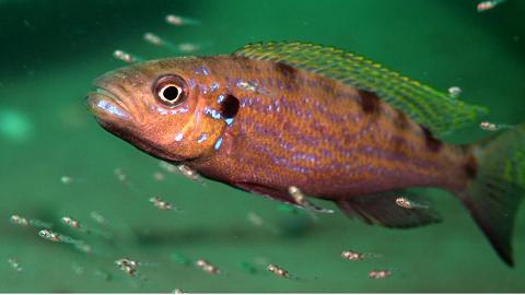 왼손잡이의 비밀, 아프리카 물고기가 밝힌다