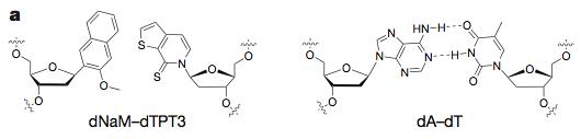 최근 화학자들은 세 번째 염기쌍이 포함된 유전자를 집어9넣은 생명체가 이를 온전히 복제하고 전사하게 만드는데 성공했다. 왼쪽은 세 번째 염기쌍(X:Y)이고 오른쪽은 기존 염기쌍(A:T)의 구조다. - 네이처 제공