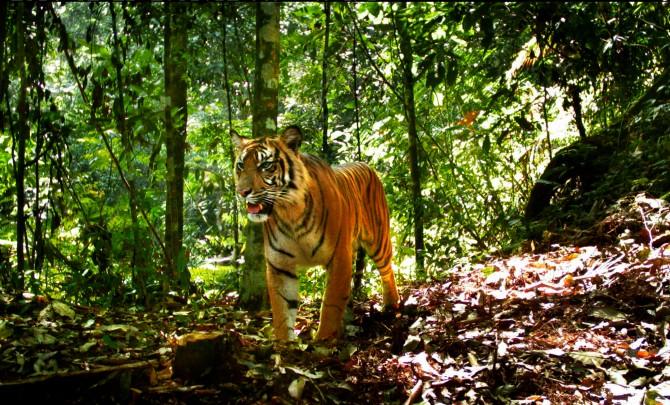 동아시아 호랑이 최다보유국, 인도네시아도 멸종위협 - Smithsonian Tropical Research Institute 제공
