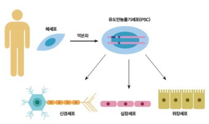 iPSC를 이용해 특정 장기를 얻는 개념도 - 동아사이언스, 네이처 지네틱스 제공