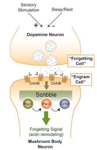초파리의 뇌에서 고유망각이 일어나는 메커니즘을 도식화한 그림이다. 도파민뉴런 가운데 한 종류가 망각세포로 특정 냄새의 기억이 저장된 버섯체뉴런(엔그램세포)과 시냅스로 연결돼 있다. 망각세포가 시냅스로 도파민을 분비하면 엔그램세포에서 Rac1이 발현되면서 일련의 신호전달이 일어나 세포골격단백질인 액틴의 구조가 바뀌며 기억이 사라진다. - 뉴런 제공