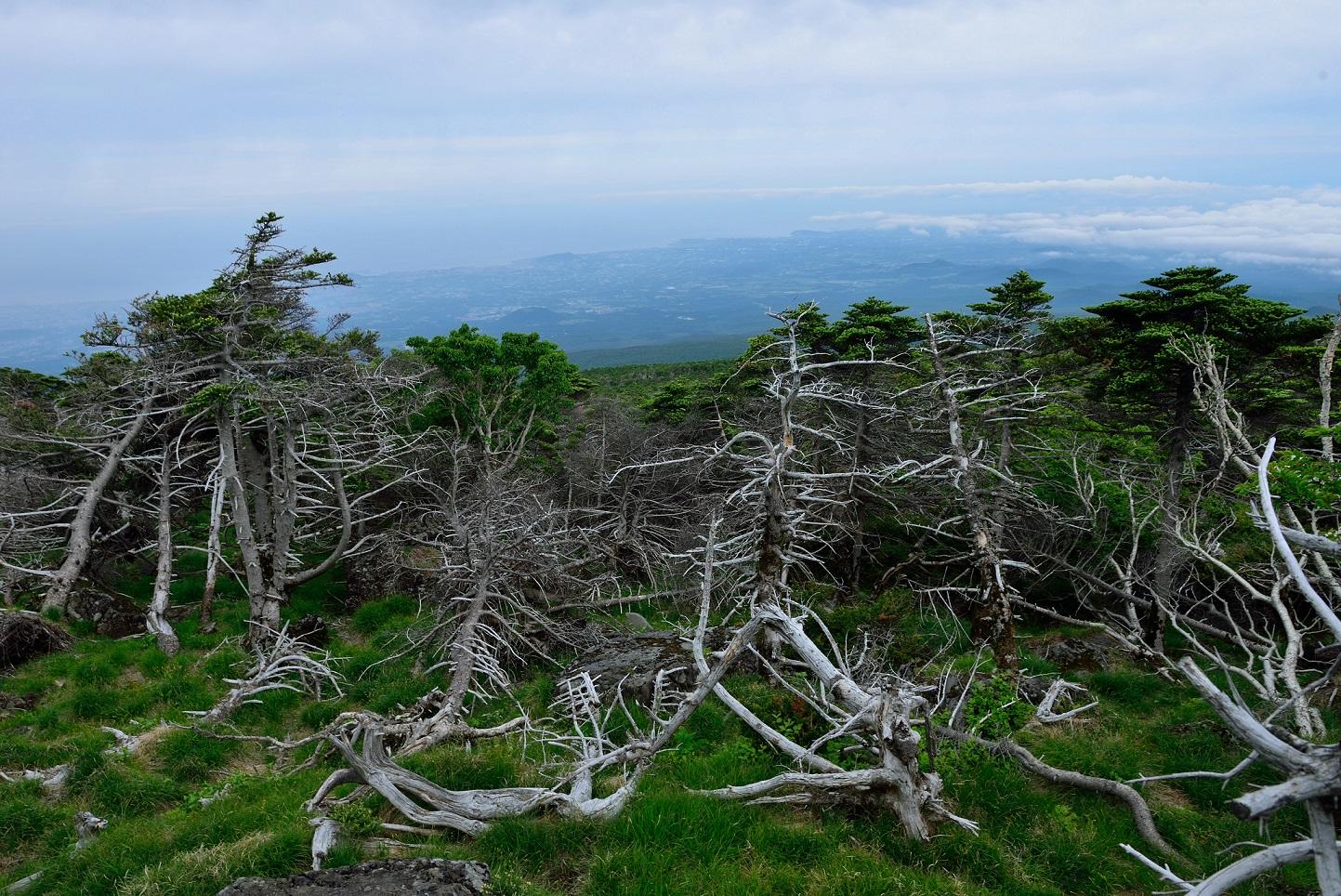 제주도 한라산에 자생하는 구상나무 숲. 많은 수가 말라 죽은 모습이다.
